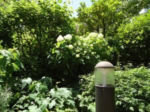 さんぽみちの今日のお庭です、かしわば紫陽花が咲き出しました。